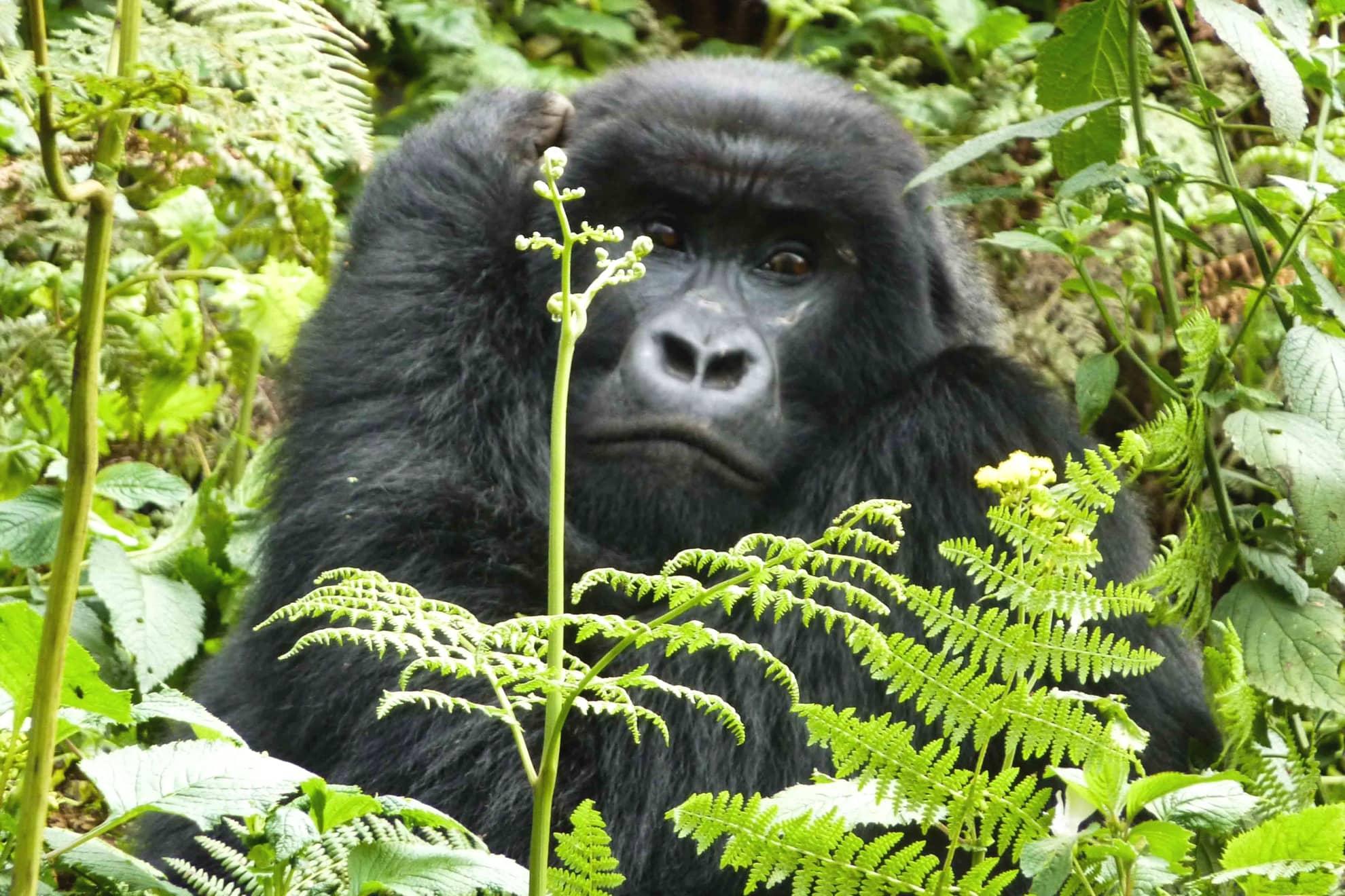 Uganda Ruanda hegyi gorilla